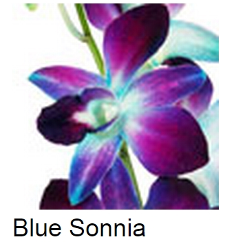 Dendrobium Dyed Blue Sonia