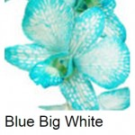 Dendrobium Dyed Blue White Form
