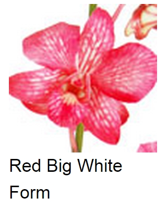 Dendrobium Dyed Red Big White Form