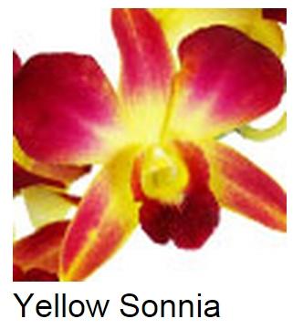 Dendrobium Dyed Yellow Sonia