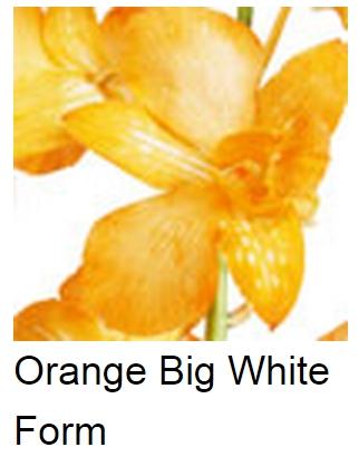 Dendrobium Dyed Orange White Form