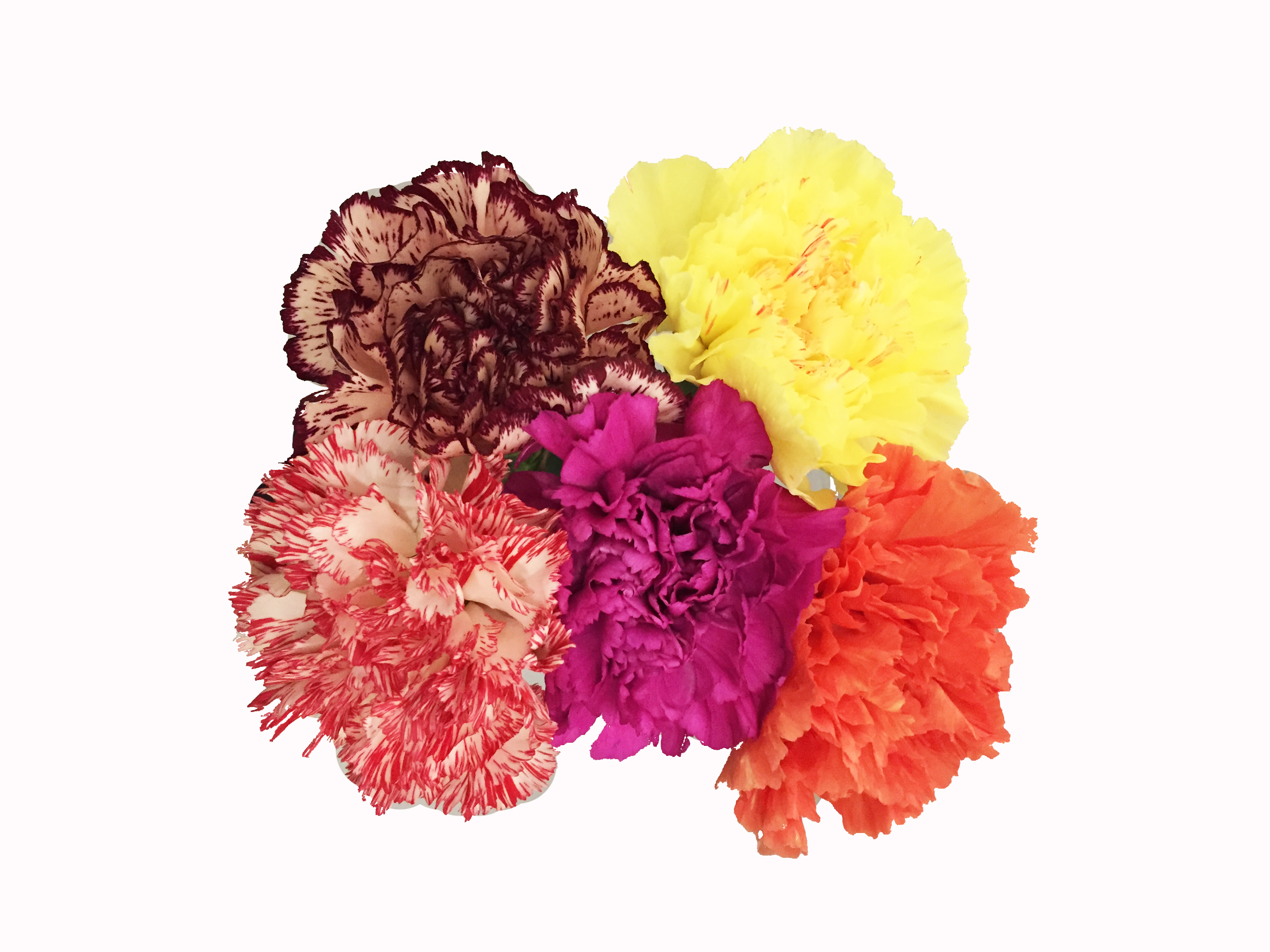 novelty-carnations