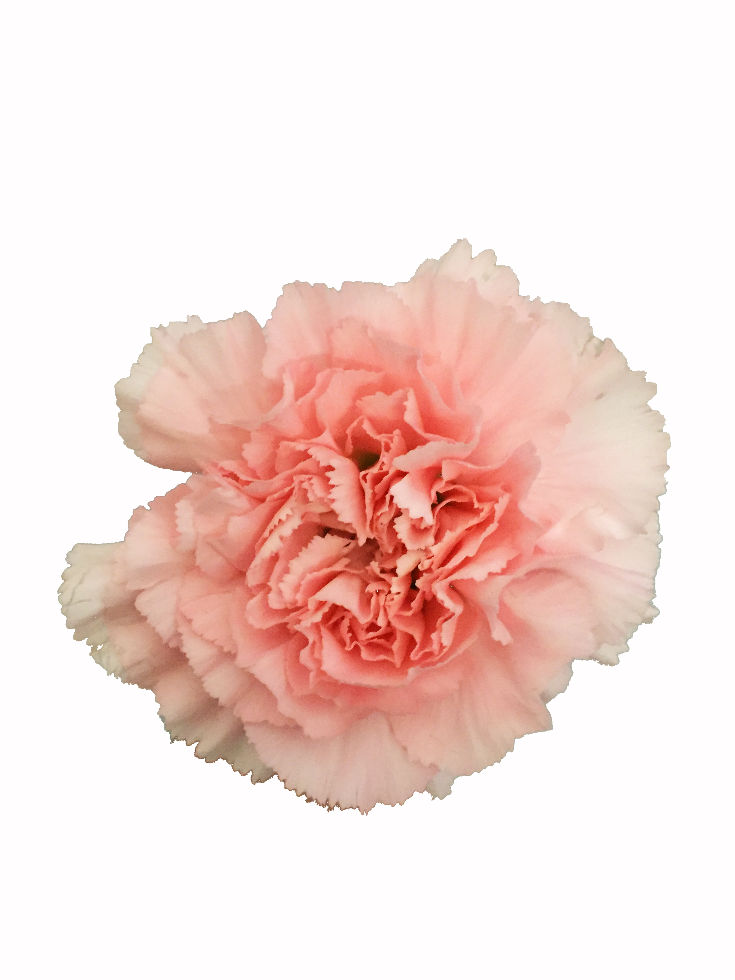 Pink Carnations In Bulk Metropolitan Wholesale