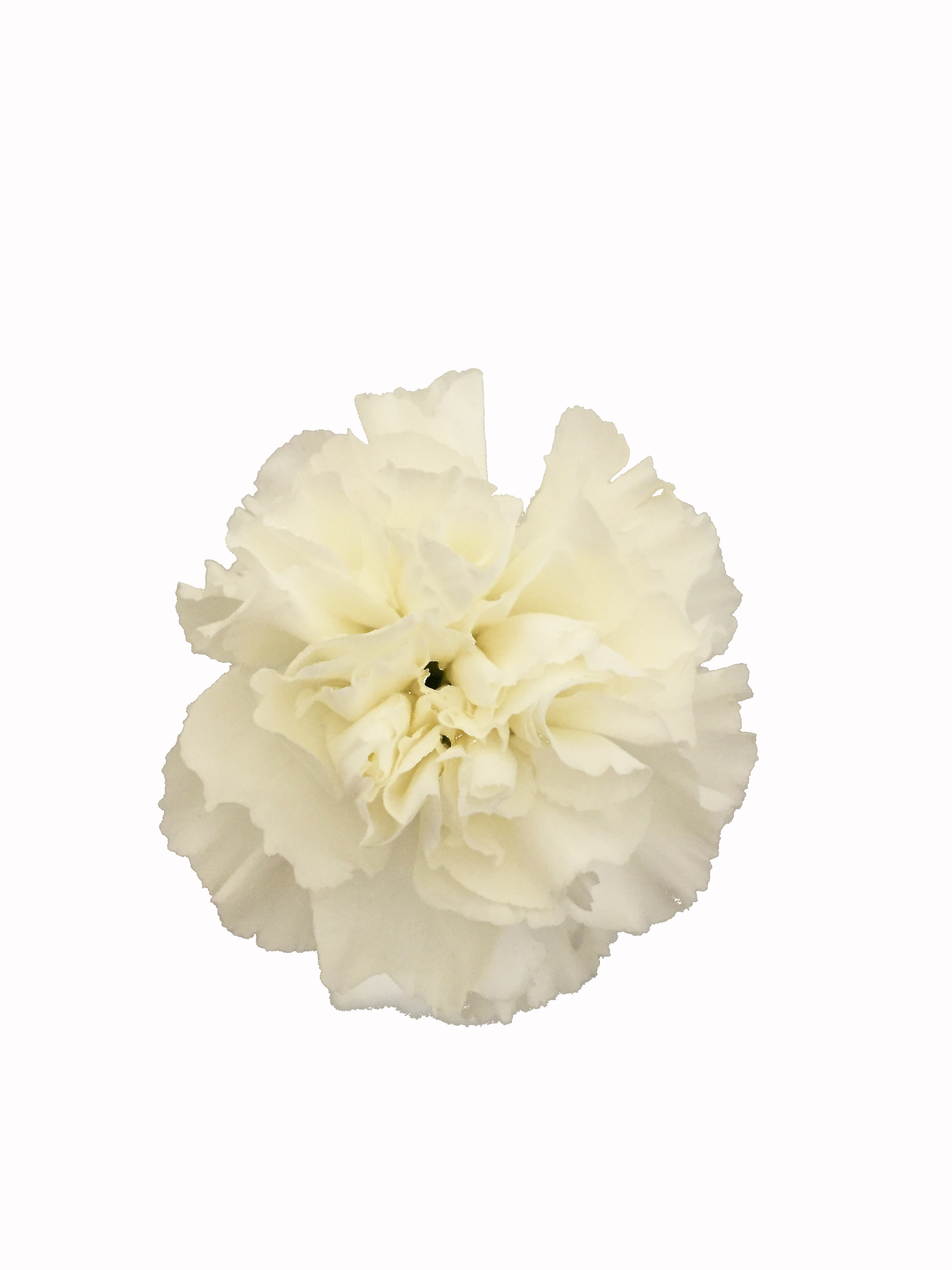 White Carnations In Bulk Metropolitan Wholesale Nj Ny