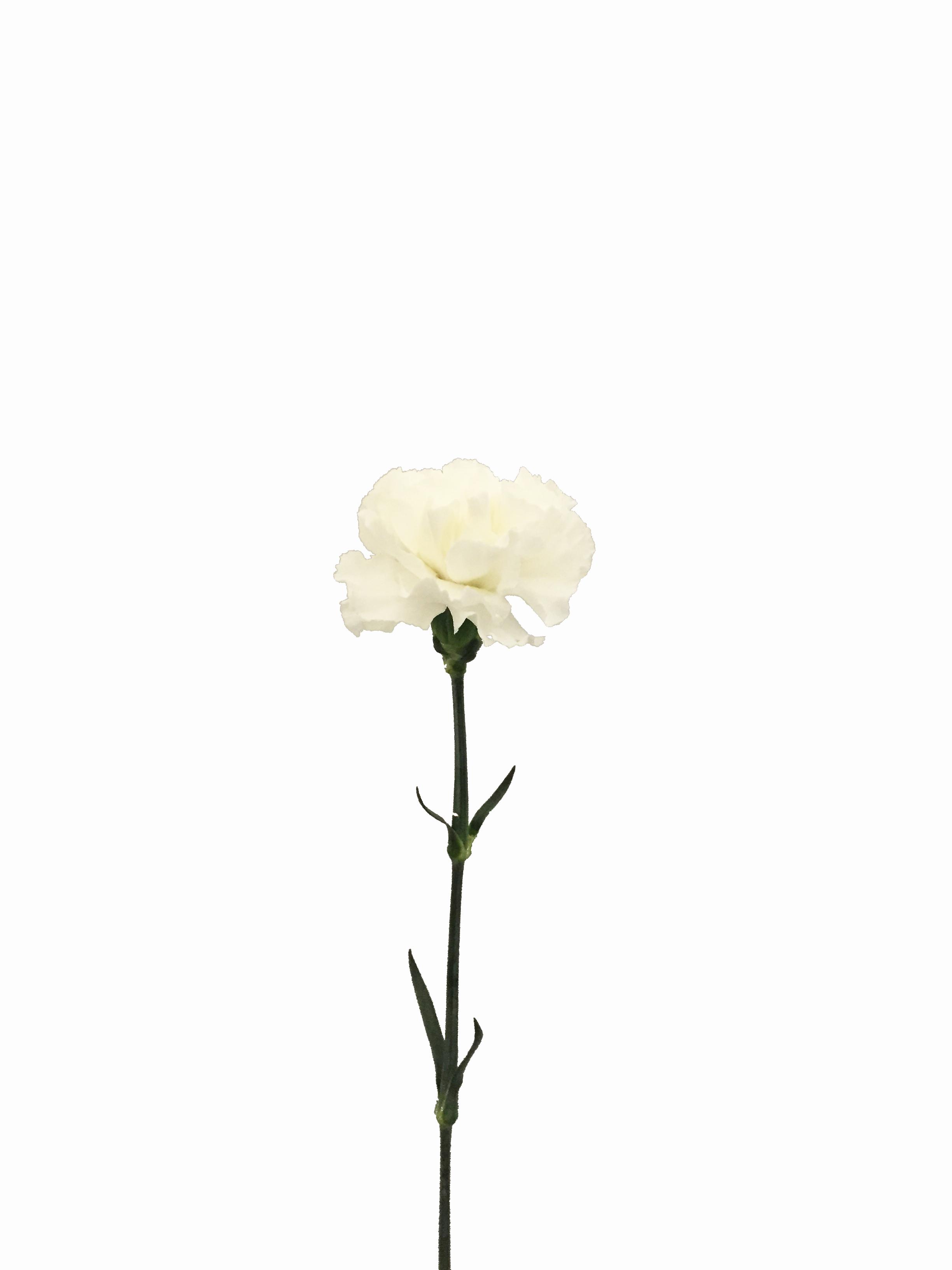 White Carnations In Bulk Metropolitan Wholesale Nj Ny