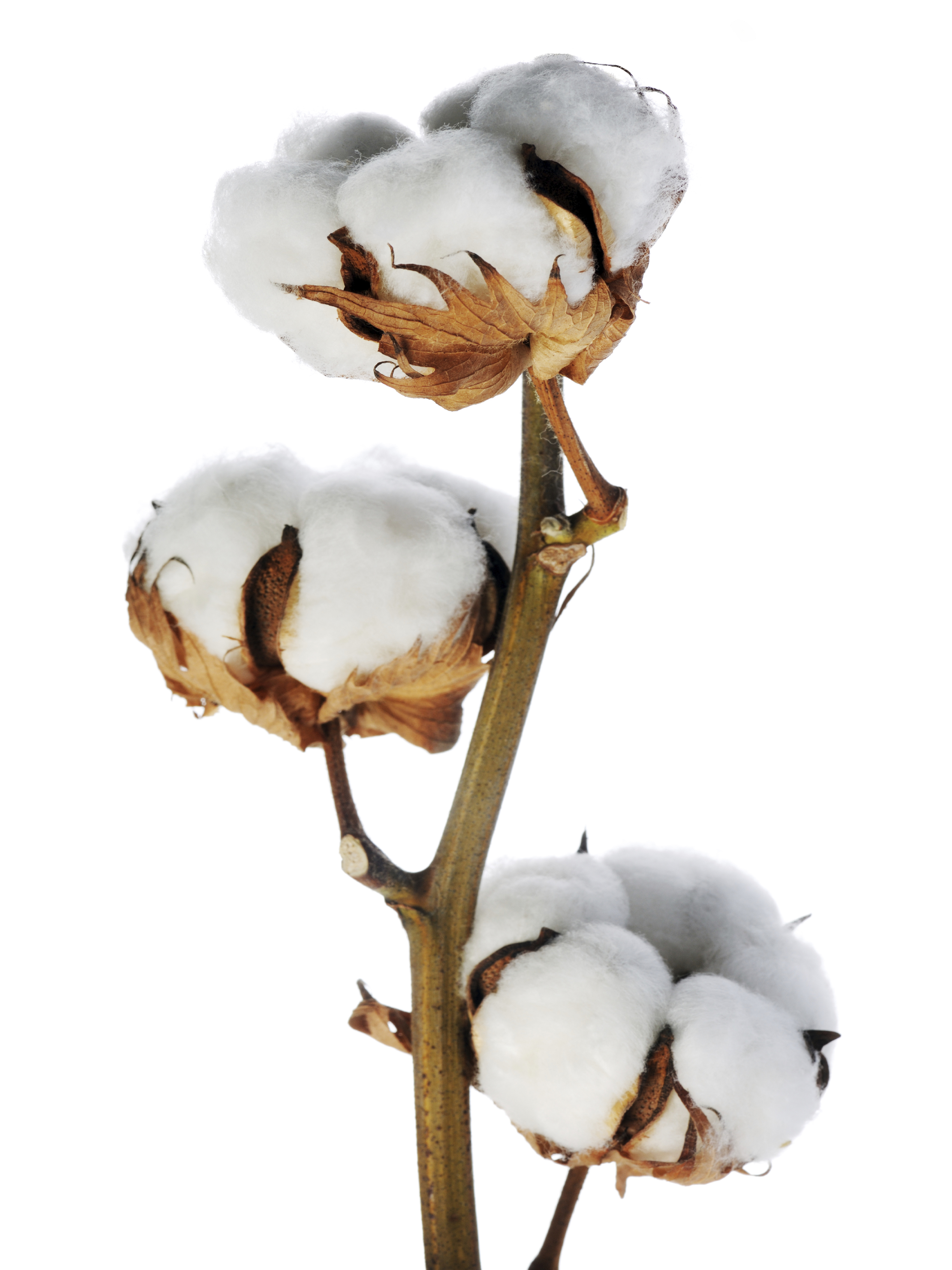 Cotton Stems Wholesale | Metropolitan Wholesale | Bulk ...