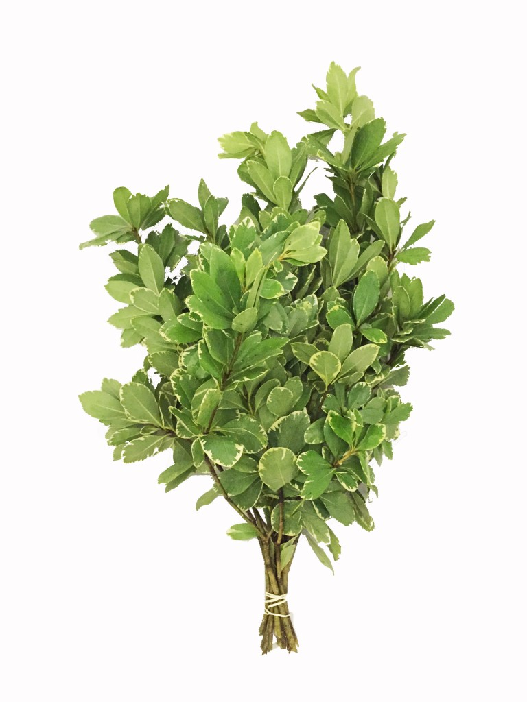 Variegated Pittosporum In Bulk Metropolitan Wholesale