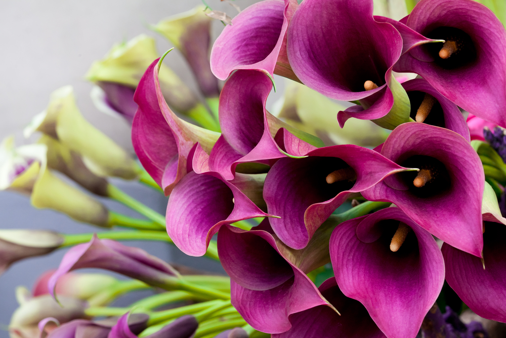 Calla Lilies Are Long Lasting and Colorful Flowers