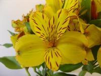 Alstroemeria Jamaica