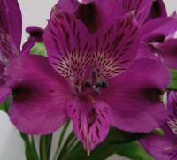Alstroemeria Onix