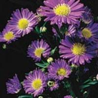 Monarch Purple Aster