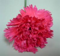 Castellaro Carnations