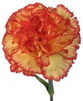 Eruption Carnations