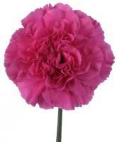 Farida Carnations