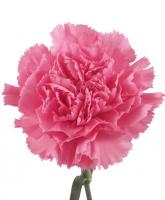 Giava Carnations