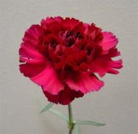 Pacal Carnations