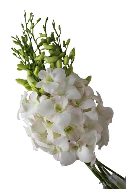 Wholesale Dendrobium Alika