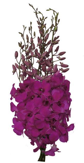 Wholesale Dendrobium Madame Pompadour