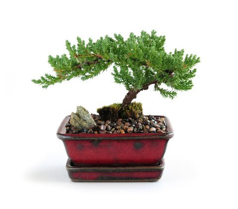 Juniper Bonsai As Gifts And Indoor Care
