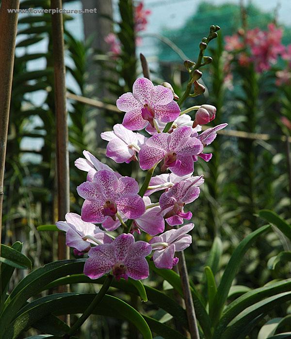 Pink Mokara Orchids
