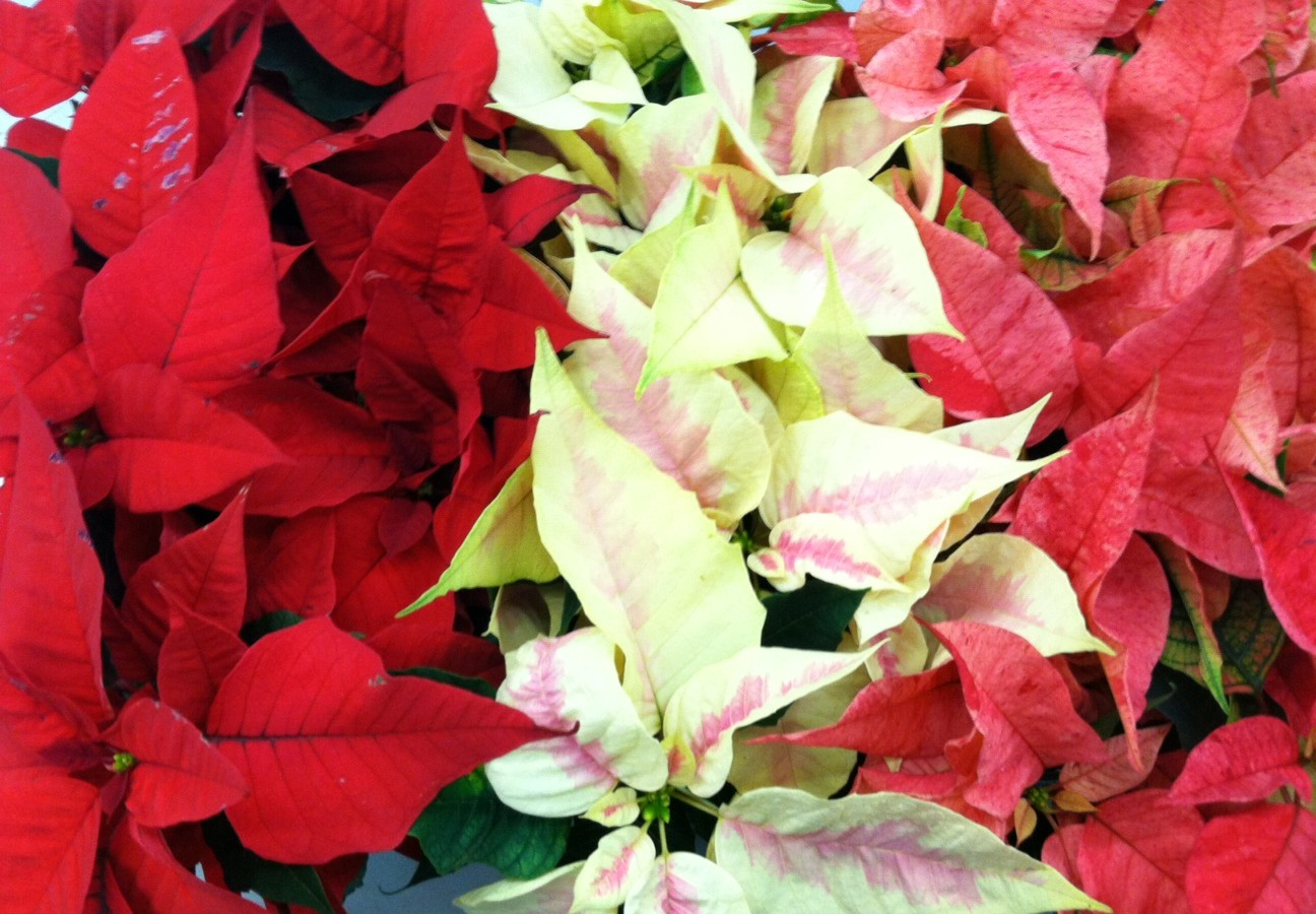 Wholesale Poinsettias
