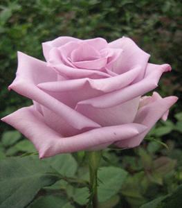 Wholesale Bluebird Roses
