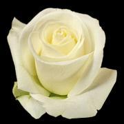 Wholesale Tibet Roses