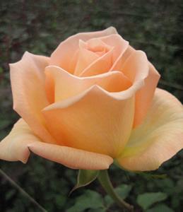 Wholesale Versilia Rose