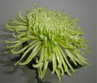 Chrysanthemum Anastasia Green