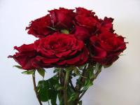 Wholesale Spray Rose Burgandini