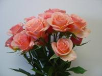 Spray Rose Ilse