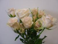 Spray Rose Porcelina