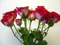 Spray Rose Red Hero
