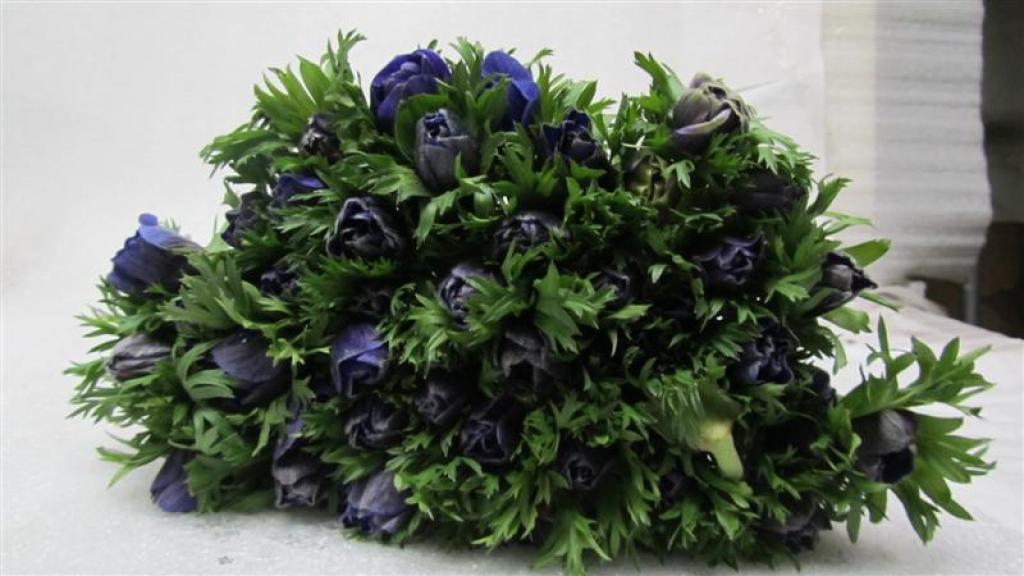 Anemone Marianne Blue