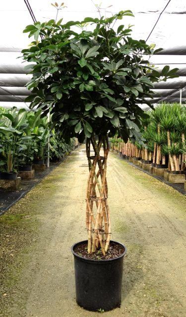Schefflera Arboricola Open Weave Topiary