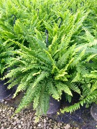 Boston Fern Compacta
