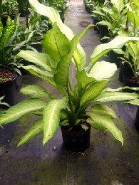Dieffenbachia Camoflauge