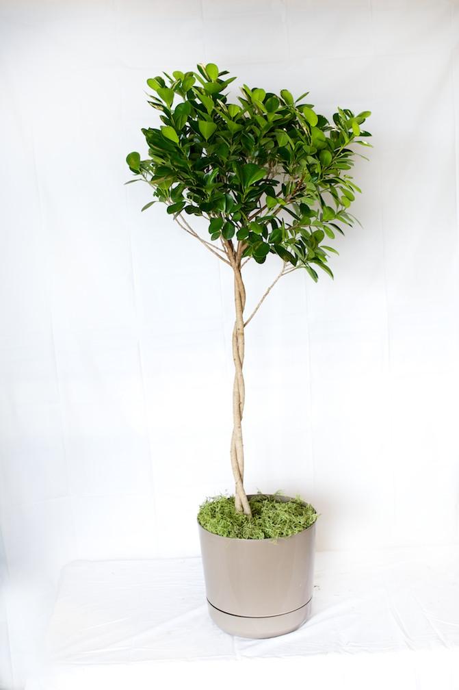 Ficus Daniella