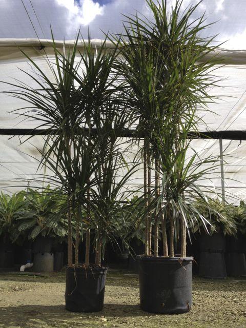 How To Care For A Marginata Plant Metropolitan Wholesale