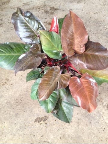 Philodendron McColleys Finale