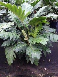 Philodendron Pinnatifidum