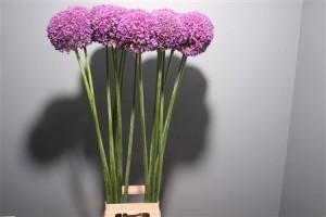 Allium Ambassador