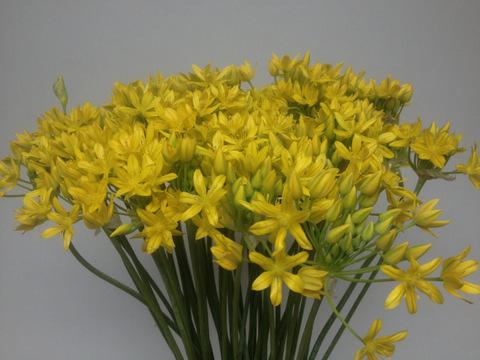Allium Jeannine