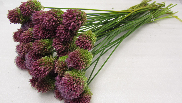 Allium Sphaerocephalon