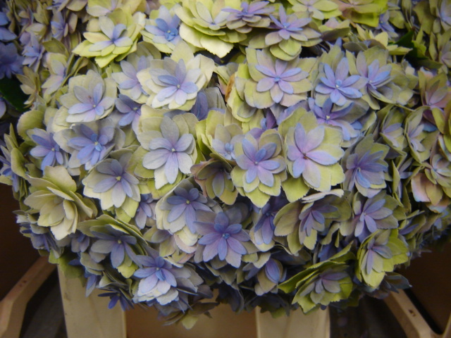 Hydrangea Expression Antique