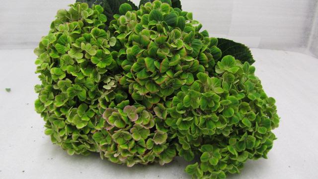 Hydrangea Coral