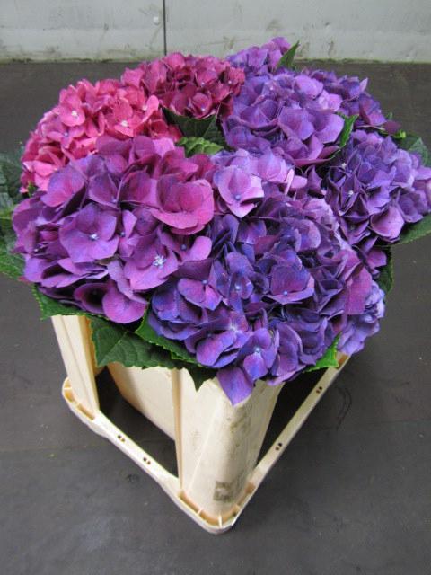 Hydrangea Esmee Purple
