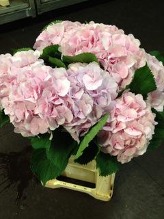 Hydrangea Verena Pink