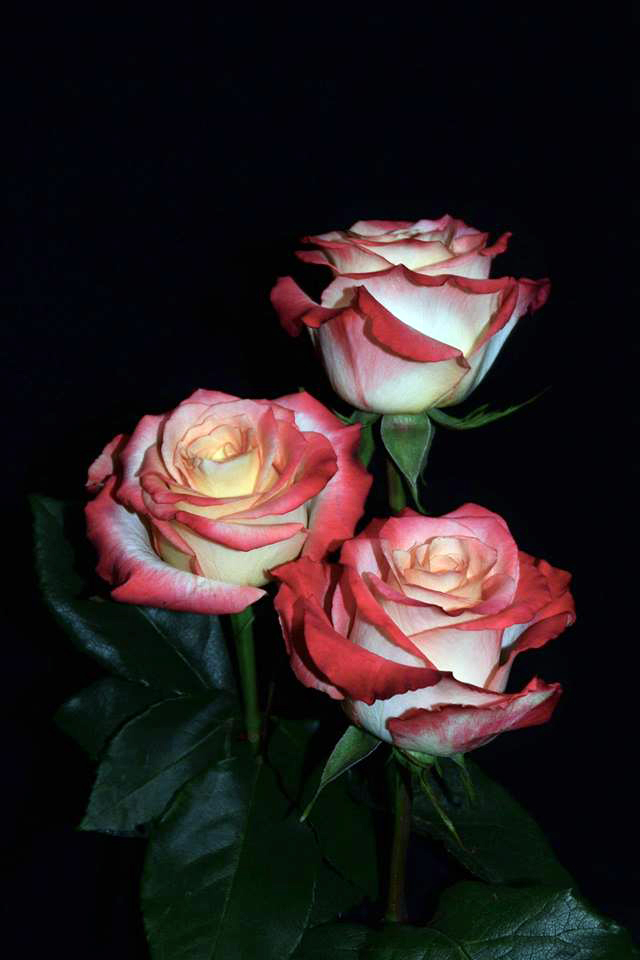 Cabaret Roses
