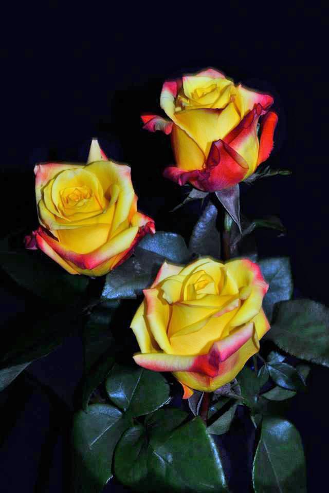 Tressor 2000 Roses